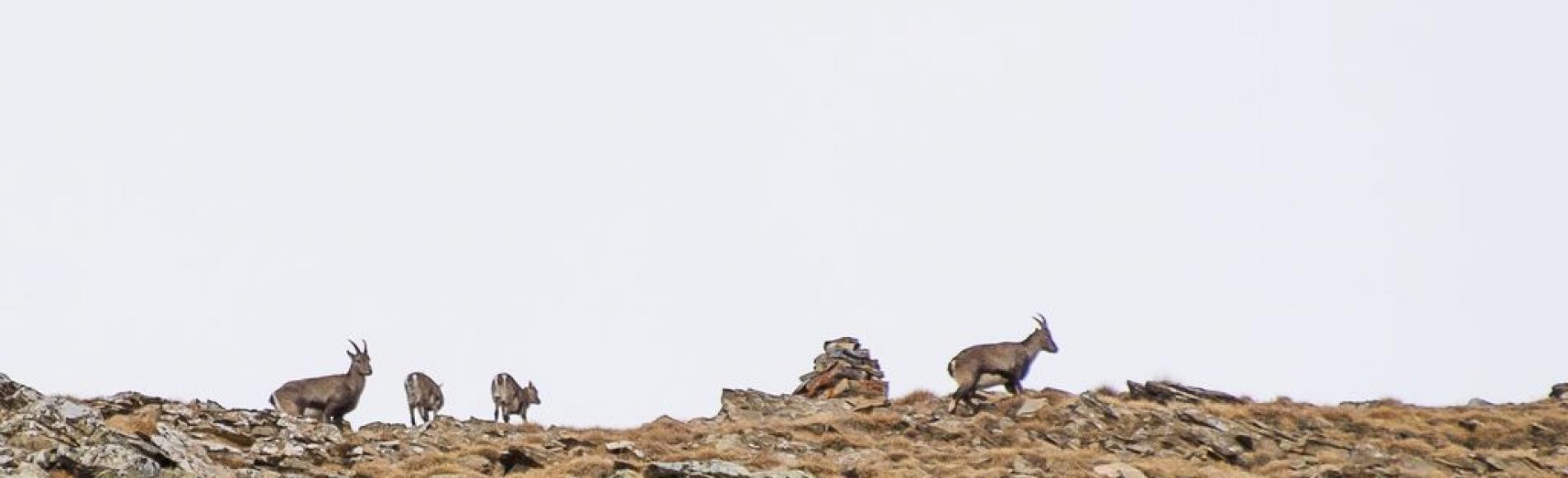 Etagnes et cabris dans le vallon de Chargès © Mireille Coulon, Parc national des Ecrins