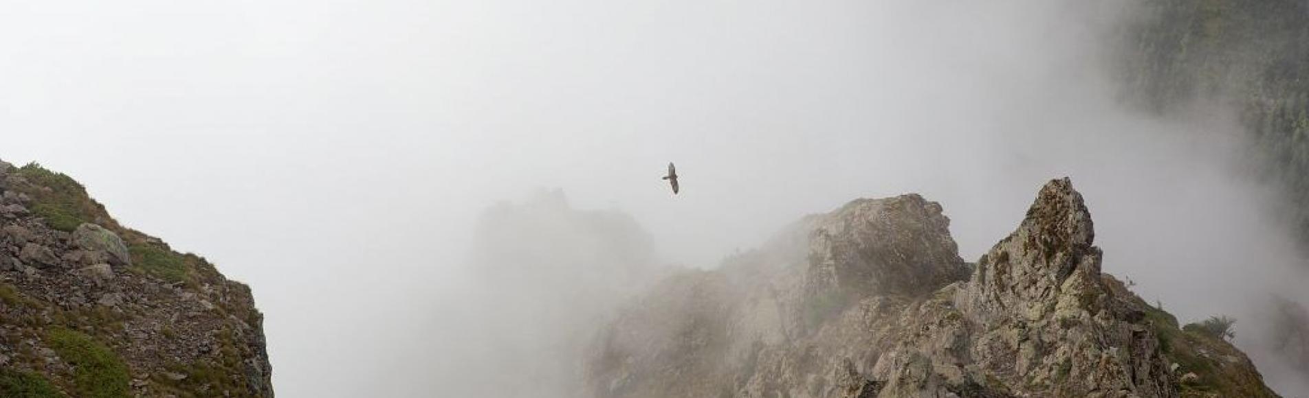 Gypaète du trio reproducteur de Mizoën dans le brouillard © T. Maillet - PNE