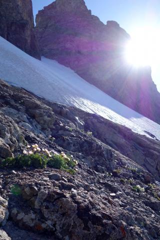 Renoncule des glaciers au Glacier Carré @ Cédric Dentant - Parc national des Ecrins