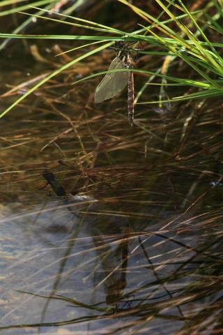 Mue aeschne et triton © Marc Corail - Parc national des Ecrins