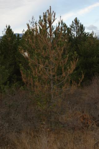 arbre infesté par processionnaire © Donovan Maillard - Parc national des Ecrins