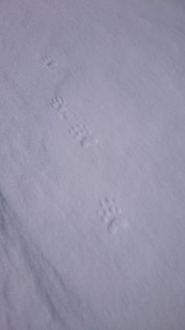 Empreinte blaireau dans la neige - mars 2016 - © E-Ollieu - N-Bertrand - Parc national des Écrins
