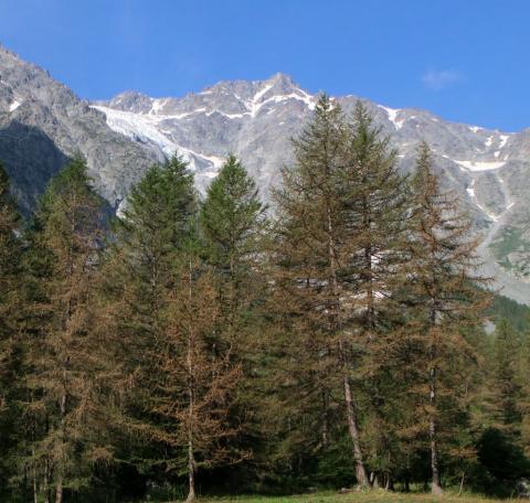 Tordeuse du mélèze, au grand près, en montant au lac de la Douche - © C-Coursier - Parc national des Écrins