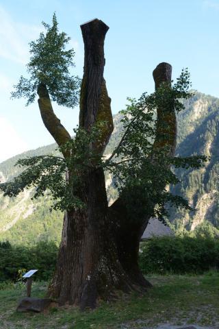 Tilleul Saint Maurice en Valgaudemar - été 2016 - © D.vincent - Parc national des Ecrins