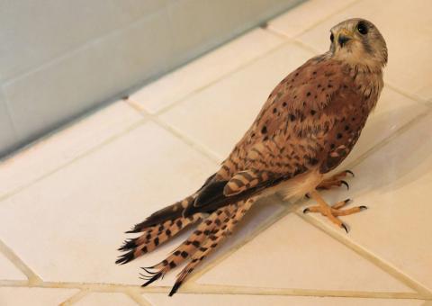 jeune faucon au centre de soin relâché au Casset en août 2016.