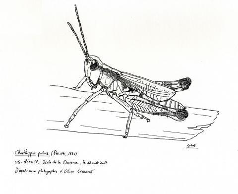 Criquet des iscles - Dessin d'Olivier Grosselet - extrait livre Insecte du Parc national des Écrins