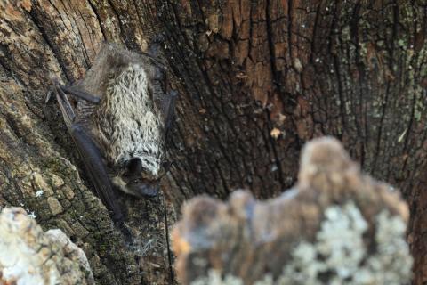 Serotine bicolore © Marc Corail - Parc national des Écrins