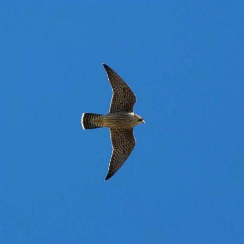 Faucon pèlerin © P.Saulay -Parc national des Écrins