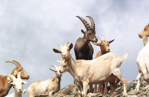 Chèvre et bouquetin -  © R.Chevalier - Parc national des Ecrins