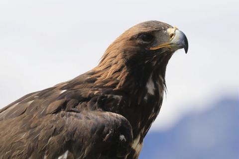 Lâcher d'un aigle royal © P. Saulay, PNE