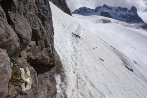 Renoncule alpine - © C.Dentant - Parc national des Ecrins
