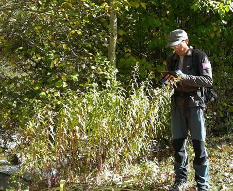 Un agent du Parc national des Ecrins relève une station de Solidage du Canada au bord de la Bonne