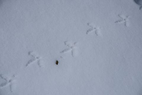 Empreinte et crotte tétras lyre © M.Coulon - Parc national des Ecrins