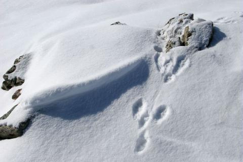 trace lièvre variable © M.Corail - Parc national des Écrins