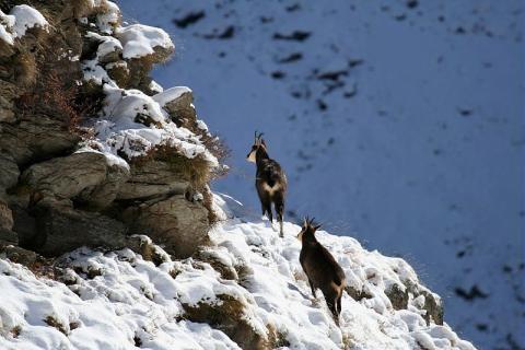 Chamois dans la neige - © JP Telmon - Parc national des Ecrins