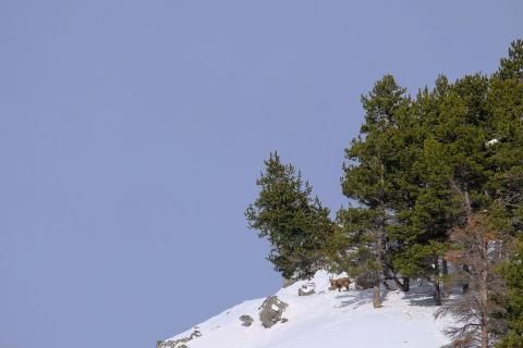 Bouquetins  hiver Cerces - © M.Coulon - Parc national des Ecrins