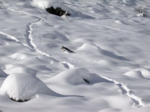 Chamois dans le neige © JP Telmon - Parc national des Écrins