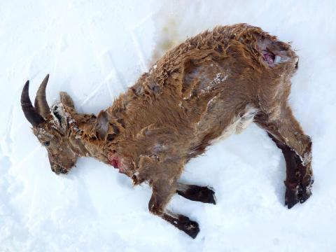 Jeune bouquetin tué par des chiens - fevrier 2018 - Alpe du lauzet- © C.Coursier - Parc national des Écrins