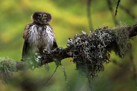 Chouette chevechette - © M.Corail - Parc national des Écrins