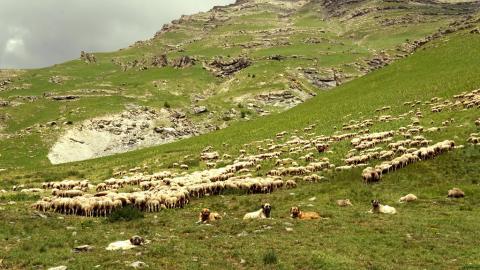 Chiens de protection au troupeau © Pascaline Brien