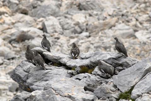 Lagopèdes en tenue estivale © M.Coulon - Parc national des Ecrins