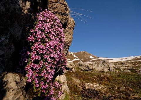 saxifrage feuilles opposées © M.Coulon - Parc national des Écrins
