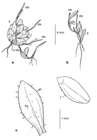 Saxifraga lychnitis var. everestianus - dessin C-Dentant