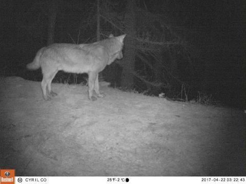 Loup - image piège photo Parc national des Ecrins - 2017