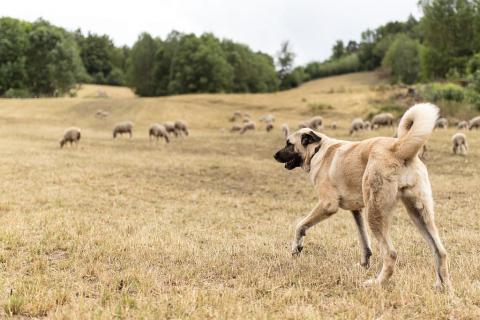 Berger d'Anatolie - chiens de protection © F.Thibault - Parc national des Ecrins