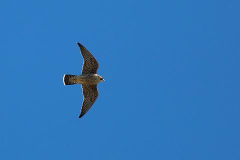 Faucon pèlerin en vol © P Saulay -Parc national des Écrins