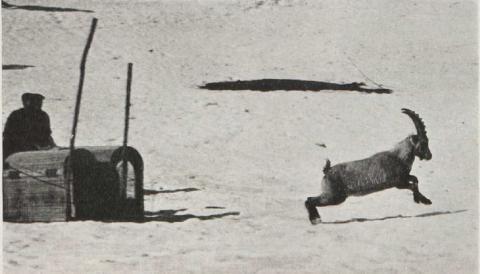 Lâcher bouquetins Briançonnais -image d'archives - LMA 1959