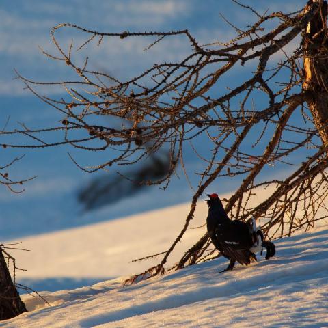 Tétras lyre - © T.Maillet - Parc national des Ecrins