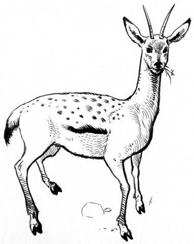 """Dahu femelle - dessin P-E Dequest - Livre """"A la rencontre des animaux en montagne"""""""