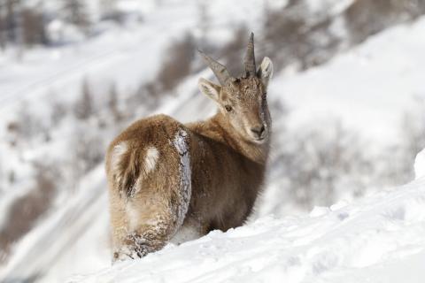 Eterlou mâle - photo C.Coursier - Parc national des Ecrins
