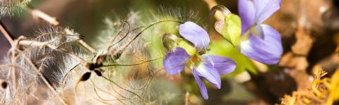 Violettes et Clématite. photo Thierry Maillet - Parc national des Ecrins