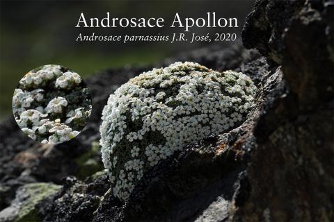Androsace parnassius J.R. José, 2020 - Parc national des Ecrins