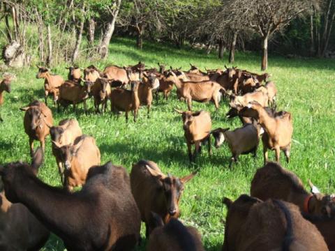 Chèvre ferme des Ecrins - Fromages Esprit parc national