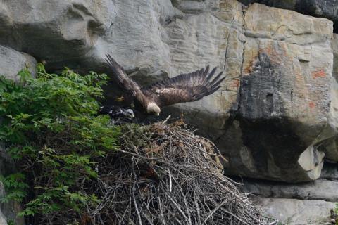 aigle au nid  - photo R.Papet - Parc national des Ecrins