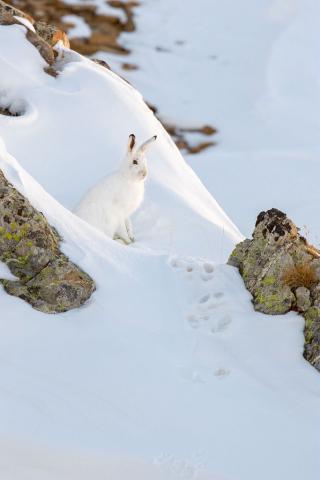 Lièvre variable - photo Bernard Pons - Parc national des Ecrins