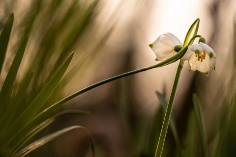 Entrelacs de nivéoles de printemps (Leucojum vernum). Crédit photo : Sébastien Lamy / OFB