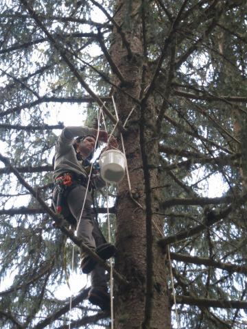 Piegeage dans la canopée du Lauvitel - photo juin 2020 - Parc national des Ecrins