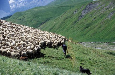 Mise au filet des brebis - PHoto J.Guevel - Parc national des Ecrins