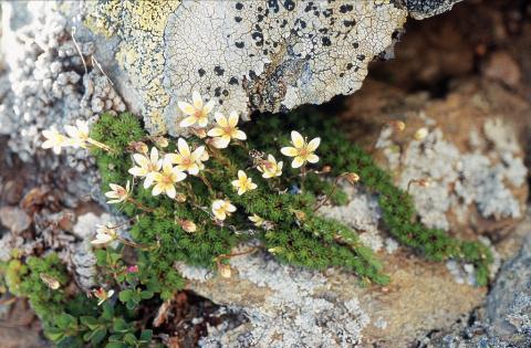Saxifrage fausse mousse - photo B.Nicollet - Parc national des Ecrins