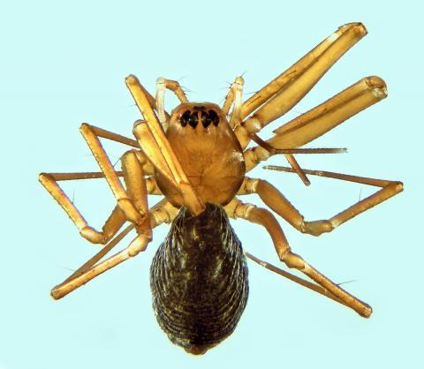 Mugiphantes baebleri