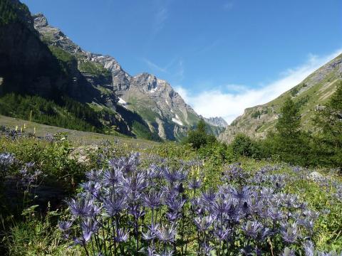 Chardons bleus, Reines des alpes, dans la réserve biologique des Deslioures, vallon du Fournel ©Blandine Delenatte - Parc national des Ecrins