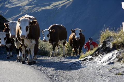 Les vaches montent en alpage - © Lucas Gérald