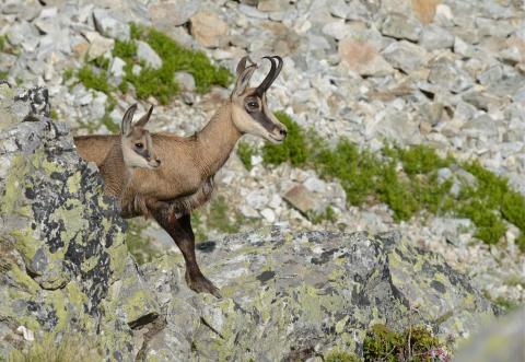 Chèvres et chevreaux © R. Papet - Parc national des Ecrins