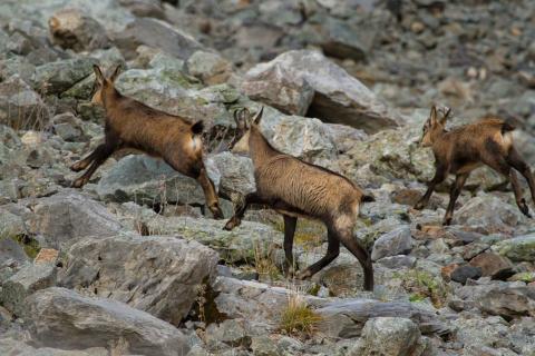 Deux chevreaux et un éterlou - Parc national des Ecrins