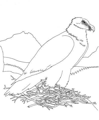 Gypaète barbu dans son nid © M. Pillet - Parc national des Ecrins