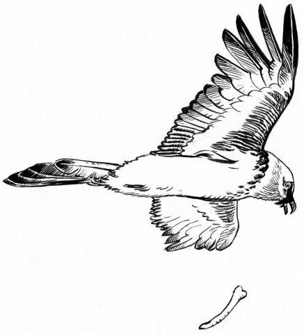 Gypaète lâchant un os © P-E. Dequest - Parc national des Ecrins